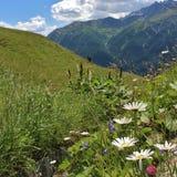 Kwiat łąki na Grossglockner Fotografia Stock