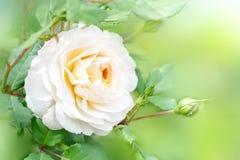 Kwiat śmietanka wzrastał w lato ogródzie Angielszczyzna krokusa Różana róża David Austin zdjęcia royalty free