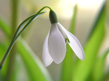 kwiat śnieżyczka Obrazy Royalty Free