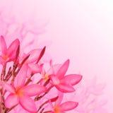 kwiat światła playnig tło kwiaty różowią plumeria Fotografia Stock