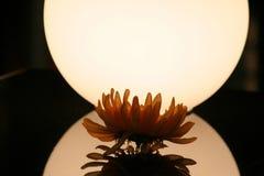 kwiat światło Zdjęcia Royalty Free