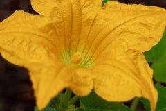 kwiat żółta oszust szyi kabaczka roślina fotografia stock