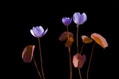kwiat 24 wczesnej wiosna Obrazy Royalty Free