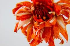 Kwiat Fotografia Stock