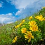 kwiat adonis Zdjęcia Stock