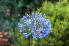 Kwiat agaphantus roślina Obrazy Royalty Free