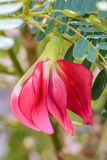 Kwiat Agasta Zdjęcie Stock