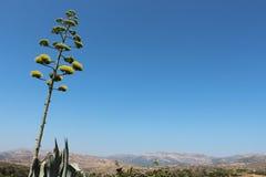 Kwiat, agawa, kaktus, pustynia Fotografia Royalty Free