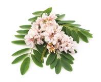Kwiat akacja Obrazy Royalty Free