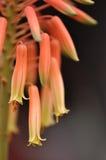 kwiat aloe Vera zdjęcie stock
