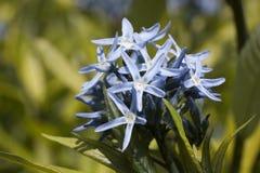Kwiat amsonia rzęski Fotografia Royalty Free