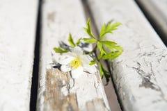 Kwiat anemon zdjęcia stock