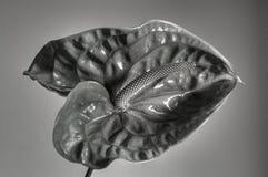 kwiat anturium abstrakcyjne Zdjęcia Stock