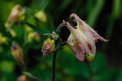 Kwiat aquilegia w kroplach po deszczu Obrazy Royalty Free
