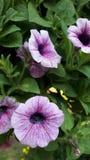 Kwiat Asia w Thailand zimy pogodzie Obraz Royalty Free