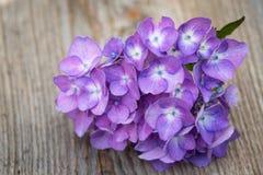 kwiat błękitny hortensja Zdjęcia Stock