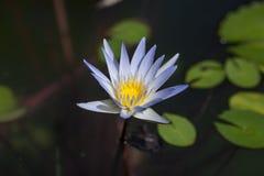 Kwiat błękitny Lotus Zdjęcie Stock
