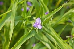 kwiat błękitny tradeskancja obrazy stock