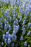 kwiat błękitny wiosna Zdjęcia Royalty Free