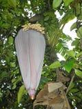 Kwiat bananowy drzewo fotografia stock