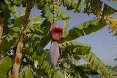 Kwiat bananowy drzewo Obraz Royalty Free