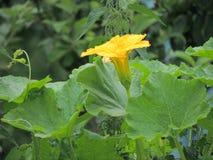 Kwiat bania zdjęcia royalty free