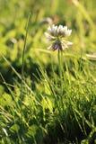 Kwiat biała koniczyna na zielonym tle, zamyka up Obrazy Stock