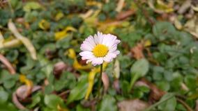 Kwiat biała stokrotka Zdjęcie Stock