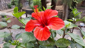 Kwiat Blume Teneriffa Zdjęcia Stock