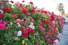 Kwiat bridżowy Hiszpania Zdjęcia Royalty Free