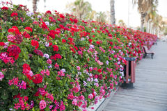 Kwiat bridżowy Hiszpania Obraz Royalty Free