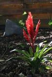 kwiat bromeliad czerwone. Fotografia Stock
