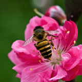 kwiat brzoskwinia Zdjęcie Stock