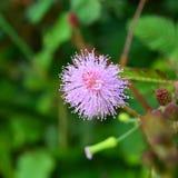 Kwiat córka nieśmiała Obraz Royalty Free