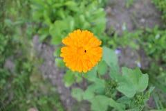 Kwiat calendula Zdjęcie Stock
