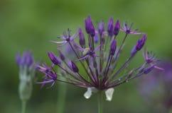 Kwiat cebula pokazuje wewnątrz w górę zdjęcia stock