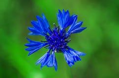 Kwiat chabrowy Obrazy Stock