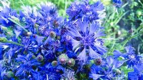 Kwiat chabrowy Zdjęcie Stock
