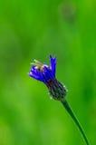Kwiat chabrowy i pszczoła Fotografia Royalty Free