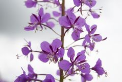 Kwiat chamaenerion Zdjęcia Royalty Free