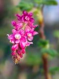 Kwiat Chaparral rodzynek, Ribes malvaceum obraz stock
