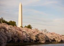 kwiat cherry pomnikowy Washington Zdjęcia Royalty Free