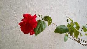 Kwiat Chiny Wzrastał zdjęcie royalty free