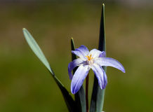 Kwiat chwała śnieg Zdjęcie Royalty Free