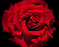 kwiat ciemna czerwień wzrastał Fotografia Royalty Free