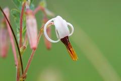 Kwiat Cranberry zdjęcia royalty free
