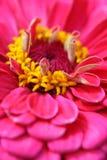 kwiat cynie Zdjęcia Stock