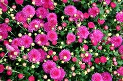 kwiat cynie Fotografia Stock