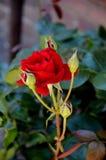 kwiat czerwień wzrastał fotografia royalty free