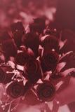 kwiat czerwień wzrastał Zdjęcie Royalty Free